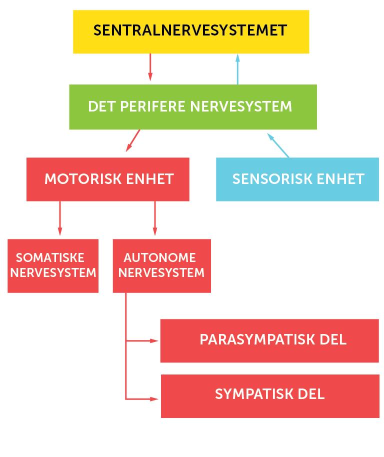 1_Nervesystemets_organisering_Norsk