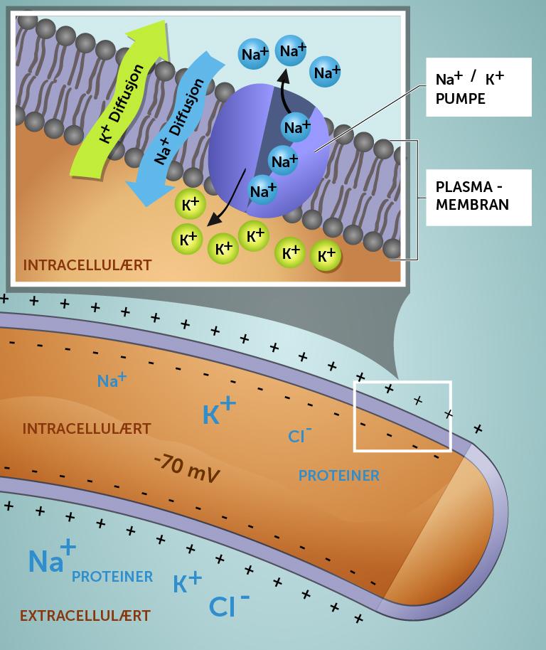 5_membranpotensial_norsk